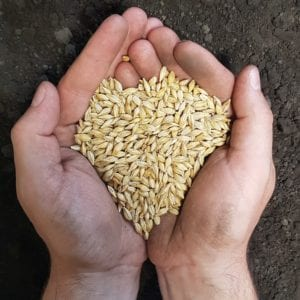 SeCan CDC Austenson Barley in hand ready to seed