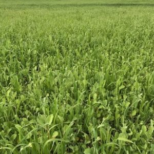 Cover crop mix of daikon radish and oats