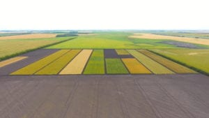 10 plots grown by Trawin Seeds ready to harvest