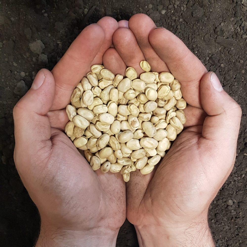 Certified Snowbird faba beans held in hand over soil