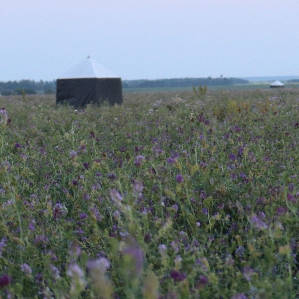 Legume field of Alfalfa in Melfort, Saskatchewan, Canada