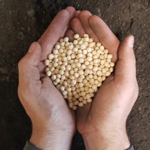 SeCan CDC Spectrum Yellow Peas in hand over soil