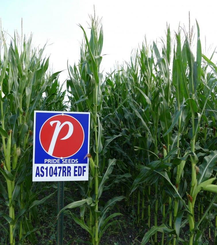 Pride Seeds AS1047 Corn Crop