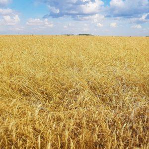A rye field in Saskatchewan